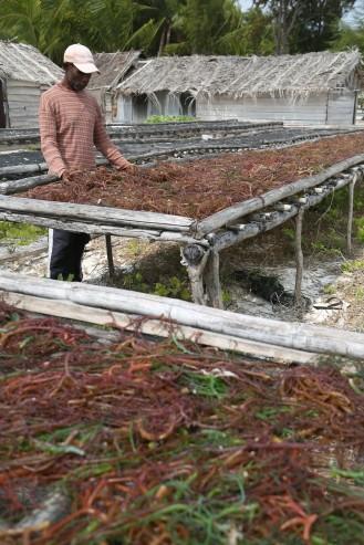 Harvesting Seaweed in Nai Island, Kei Kecil, South East Mollucas, Indonesia, 7 October 2015. - Jadiguna Photo / Jerry Adiguna