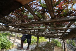 Harvesting Seaweed in Nai Island, Kei Kecil, South East Mollucas, Indonesia, 7 October 2015. - Jadiguna Photo / Jerry Adiguna