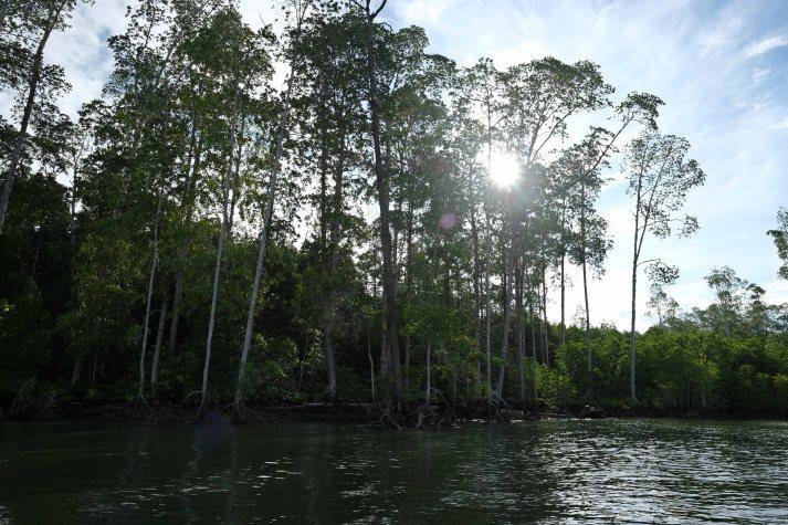 Kawasan hutan manggorve di Pulau Babo, Papua Barat, Selasa, 2 April 2019. - JP/Jerry Adiguna