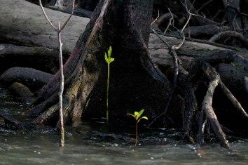 Bibit manggrove tumbuh di kawasan hutan manggorve Pulau Babo, Papua Barat, Selasa, 2 April 2019. - JP/Jerry Adiguna